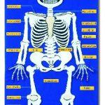 Montessori Artikel anatomie